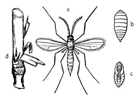 Hessian Fly Stages has been minimal in Pennsylvania, vintage line drawing or engraving illustration. Ilustrace