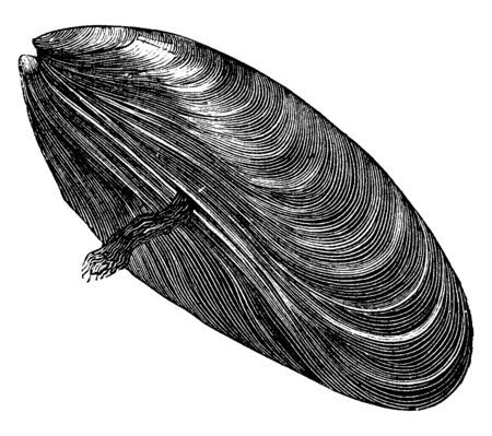 Common mussel is a medium sized edible marine bivalve mollusc in the family Mytilidae, vintage line drawing or engraving illustration. 스톡 콘텐츠 - 132997499