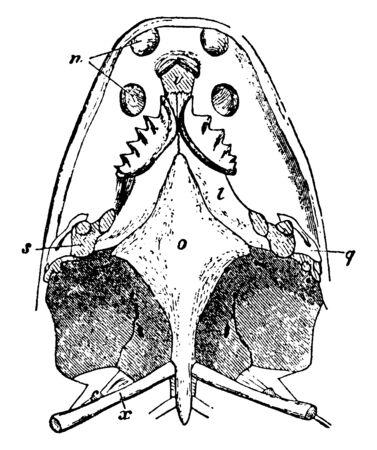 Ceratodus was a wide ranging genus of extinct lungfish, vintage line drawing or engraving illustration. Vektoros illusztráció