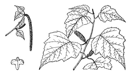 Branches of a gray birch tree, vintage line drawing or engraving illustration. Ilustrace