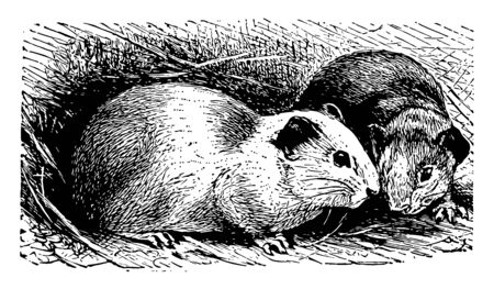 Guinea Pigs is a species of rodent belonging to the family Caviidae and the genus Cavia, vintage line drawing or engraving illustration.