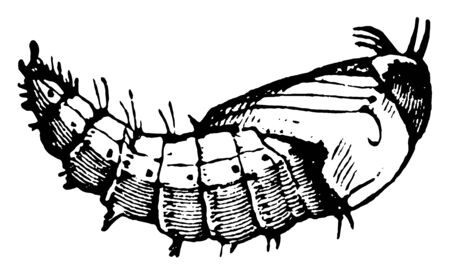 Robber Fly Pupa is the life stage of some insects undergoing transformation between immature and mature stages, vintage line drawing or engraving illustration.