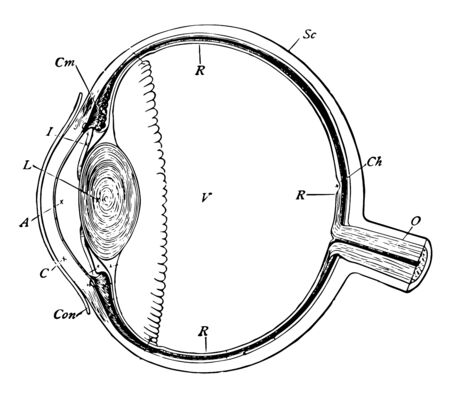 This illustration represents Section of the Eyeball, vintage line drawing or engraving illustration.