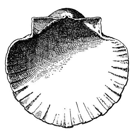 Interior Scallop Shell have a decorative background for vases and busts, vintage line drawing or engraving illustration.