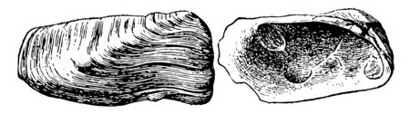 Pelecypod is a class of marine and freshwater molluscs that have laterally compressed bodies enclosed by a shell, vintage line drawing or engraving illustration. Çizim
