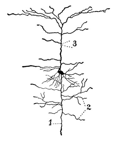 A neuron from the cerebral cortex, vintage line drawing or engraving illustration.