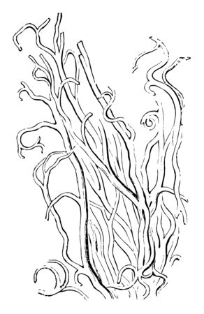 The elastic fibers from the ligamenta subflava, vintage line drawing or engraving illustration.