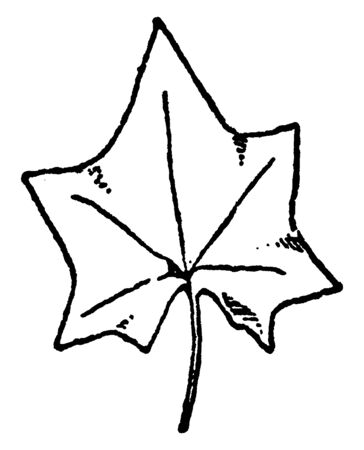 Leaf of Climbing Mikania is natural pattern in this design, vintage line drawing or engraving illustration. 向量圖像
