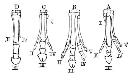 Generic development of the horse's foot, vintage line drawing or engraving illustration.
