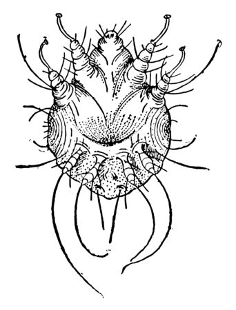 Itch Mite known as scab mite. Adult mites are spherical, eyeless mites with four pairs of legs. They are recognized by their oval, ventrally flattened & dorsally convex tortoise-like body, vintage line drawing or engraving illustration.