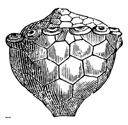 Actinocrinus is an extinct genus of crinoid, usually found in Europe & North America.  Illustration shows a paleozoic crinoid, vintage line drawing or engraving illustration. 일러스트