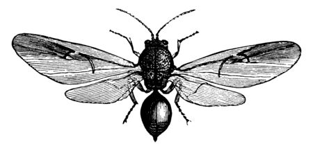Cynips is a kind of stinging insect, vintage line drawing or engraving illustration.