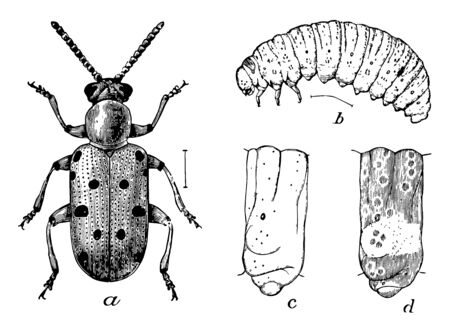 Crioceris 12 Punctata is marked with six black dots, vintage line drawing or engraving illustration.