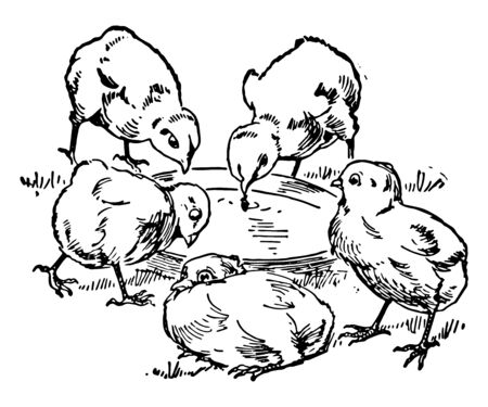 This card shows five chicks near water pot. Three chicks are drinking water & two chicks are around the water pot, vintage line drawing or engraving illustration.