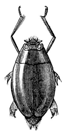 Whirligig is an insect in the Gyrinidae family of water beetles, vintage line drawing or engraving illustration. Foto de archivo - 132980687