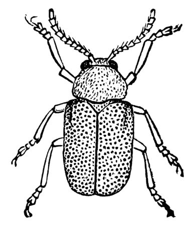 This illustration represents Dominican Beetle, vintage line drawing or engraving illustration.