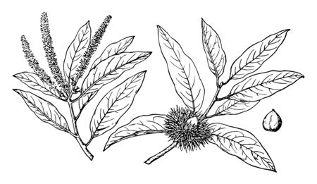 An illustration of branches of Chrysolepis chrysophylla with fine leaves flowers and nuts, vintage line drawing or engraving illustration.
