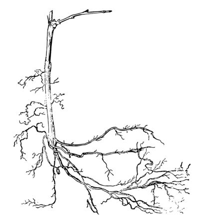 A rooted grapevine after cutting, vintage line drawing or engraving illustration. Illustration