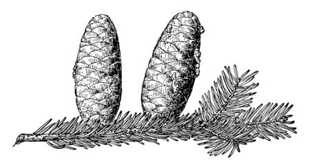 This image is Pine cone of Balsam Fir. It shows the leaves on the branch along with fruits hanging, vintage line drawing or engraving illustration.