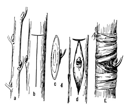 This illustration represents Budding Grafting which is a horticultural techniques used to join parts from two or more plants, vintage line drawing or engraving illustration.