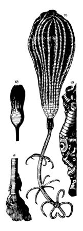 Crinoid are the marine animals. They live in both shallow water or in deep sea. Illustration shows a lower part of stem, portion of a mass of crinoidal limestone & Pentacrinus Wyville-Thomsoni, vintage line drawing or engraving illustration.