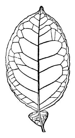 A leaf of the grapefruit tree, vintage line drawing or engraving illustration.