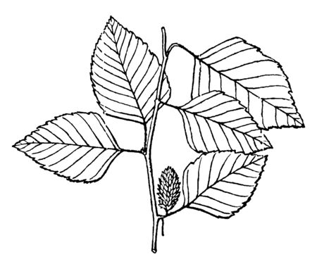A photo of Betula twig showing broad leaves and cone, vintage line drawing or engraving illustration.