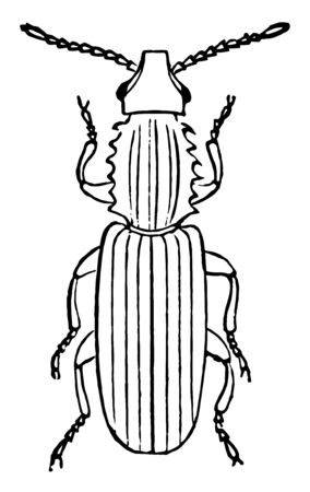 Saw Toothed Grain Beetle is a beetle of the Silvanidae family, vintage line drawing or engraving illustration. Standard-Bild - 132994148