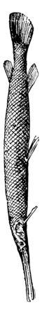 Gar Pike a Ganoid fish, vintage line drawing or engraving illustration.