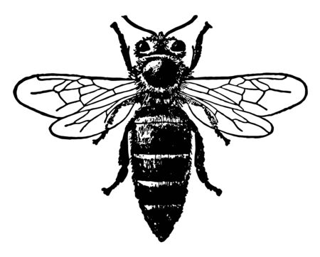 Queen Honey Bee in which colonial nests out of wax, vintage line drawing or engraving illustration.