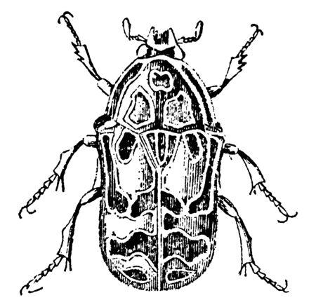 Flower Chafer Beetle es un grupo de escarabajos, línea vintage de dibujo o ilustración de grabado.