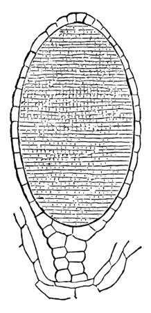 The Antheridium is the male organ of plants and which fertilize the female cells or eggs, vintage line drawing or engraving illustration.