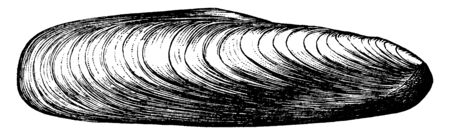 Date Shell is a mussel shell of the stone boring genus Lithodomus, vintage line drawing or engraving illustration.