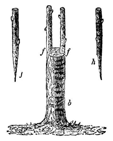 Picture showing grafting of trees in which a small twig is inserted under the bark around the trunk of tree, vintage line drawing or engraving illustration.