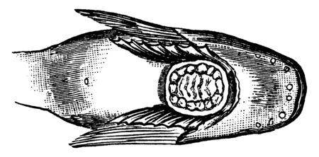 This illustration represents Snailfish Sucker Between the Pectoral Fins, vintage line drawing or engraving illustration. Иллюстрация