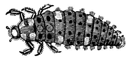 Larva of a Ladybird is beneficial to gardens because they eat other insects as food, vintage line drawing or engraving illustration.