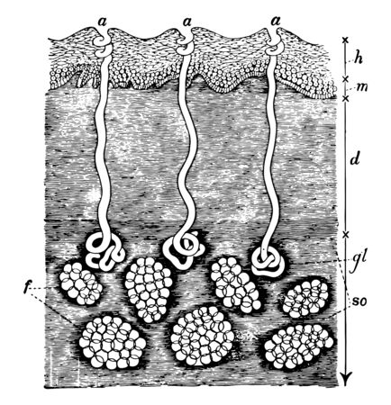 This illustration represents Section of the Skin and Subcutaneous Areolar Tissue, vintage line drawing or engraving illustration.