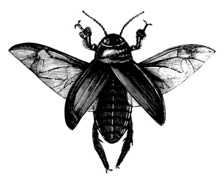 Cockroaches are insects of the order Blattodea, vintage line drawing or engraving illustration.