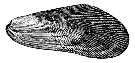 Mussel is the common name used for members of several families of bivalve molluscs, vintage line drawing or engraving illustration. Stock Illustratie