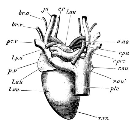 A heart of the pigeon dorsal aspec, vintage line drawing or engraving illustration.