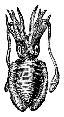 Common Cuttlefish is a mollusc in the Sepiidae family of cephalopods, vintage line drawing or engraving illustration.