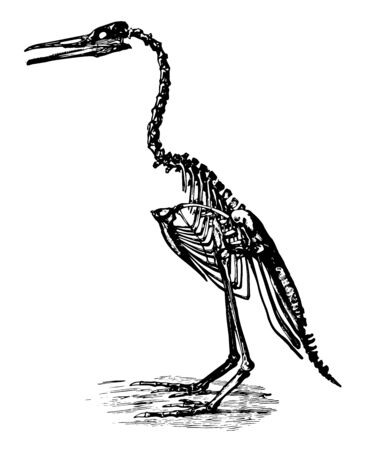 Hesperornis Regalis was an ancient bird of the Cretaceous Period, vintage line drawing or engraving illustration. Illusztráció
