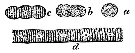 This illustration represents The Development of Muscular Fibers from Cells, vintage line drawing or engraving illustration.
