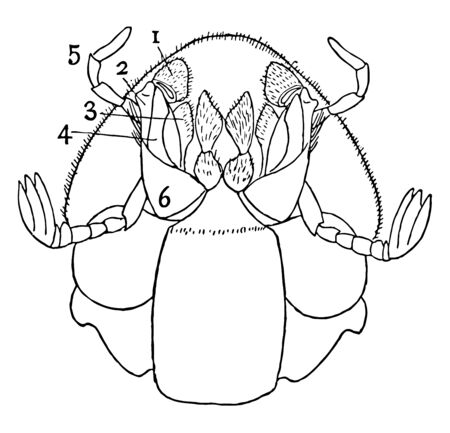 Ventral View of Dung Beetle which is about four times natural size, vintage line drawing or engraving illustration.