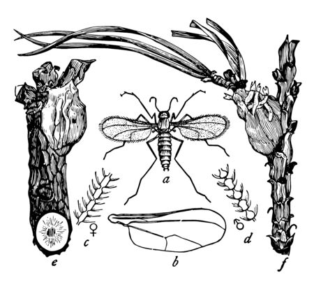Resin Gnat is small two winged flies with larvae, vintage line drawing or engraving illustration.