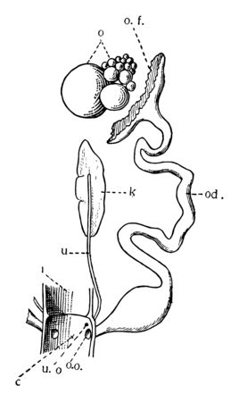 Only one ovary and oviduct are fully developed in the Birds, vintage line drawing or engraving illustration. Иллюстрация