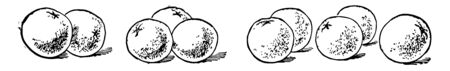 There are 10 oranges. Originated in southern china, north-eastern India. Card shows 10 oranges grouped into 3 and 2, Vintage line drawing or engraving illustration.
