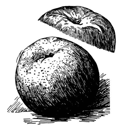 In this image is a York imperial apple, vintage line drawing or engraving illustration. 일러스트