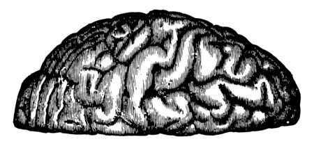 View of the appearance of the tortuous elevations of the brain, vintage line drawing or engraving illustration. 向量圖像