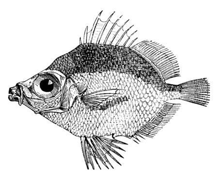 Boarfish Six to eight inches long, vintage line drawing or engraving illustration.